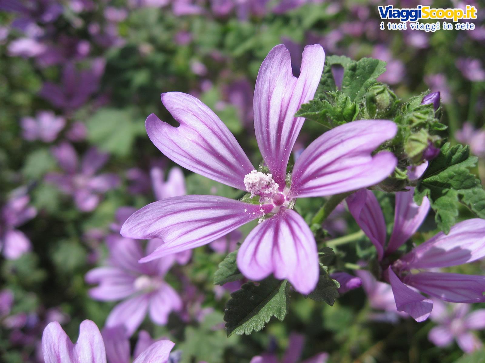 Sfondi desktop fiori floreali gli sfondi desktop pi for Sfondi desktop fiori
