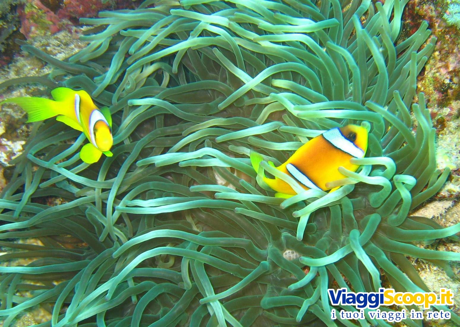 Sfondi desktop tropicali fondali marini pesci for Immagini coralli marini