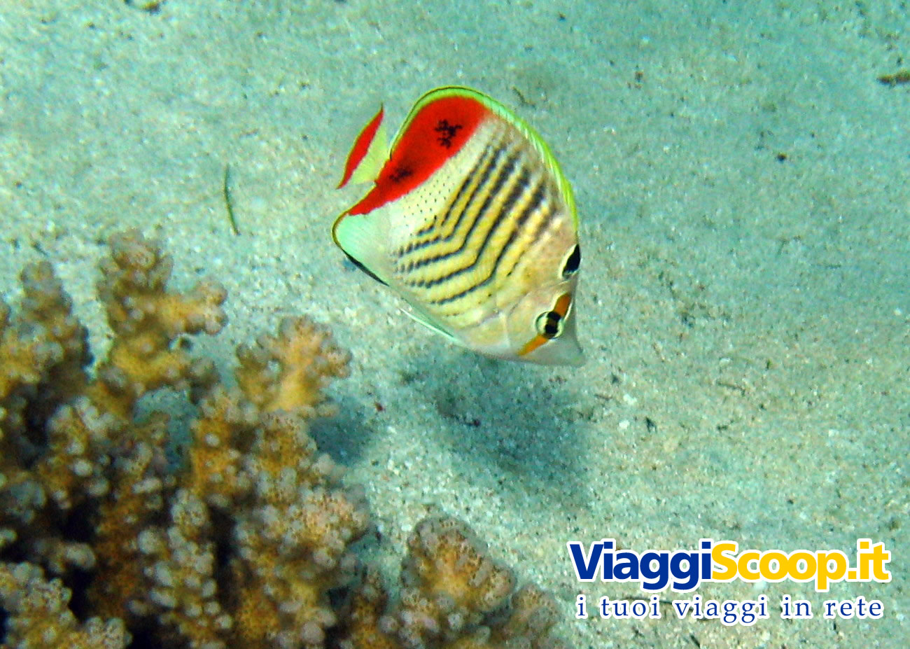 Sfondi desktop tropicali fondali marini pesci for Pesce rosso butterfly