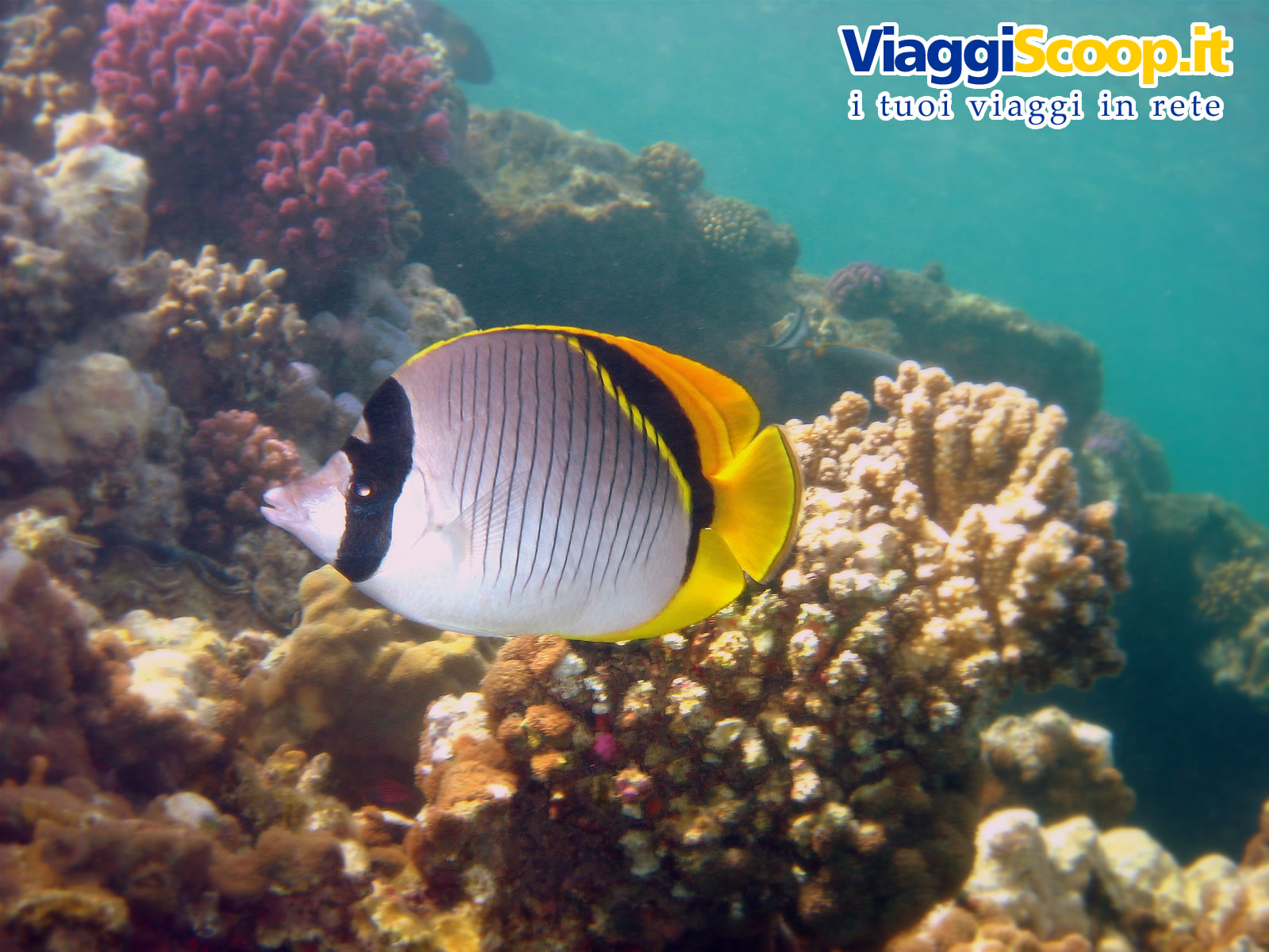 Sfondi desktop tropicali fondali marini pesci for Sfondi pesci tropicali