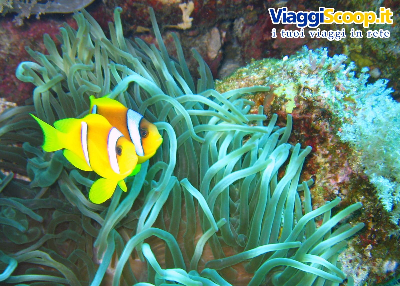 Sfondi desktop tropicali fondali marini pesci for Immagini pesce pagliaccio