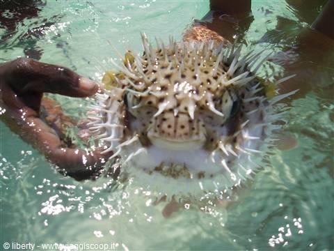 Foto pesce palla a sardegna ii kenya for Pesce palla immagini
