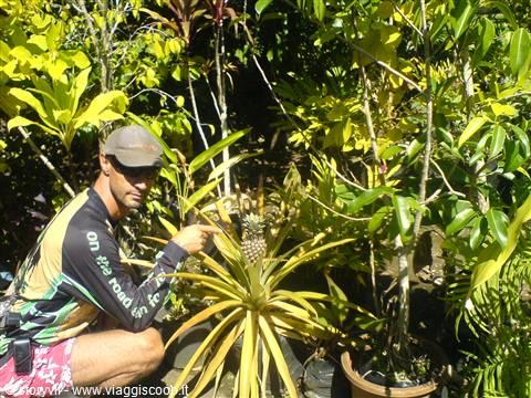 Foto la pianta dell 39 ananas al nostro albergo vanuatu for Pianta ananas