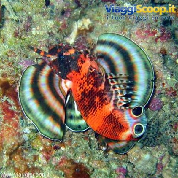 e questo ? lion fish o scorpion fish ?