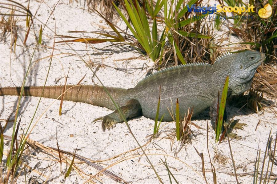 Iguana a Little Water Cay ISOLE TURKS E CAICOS