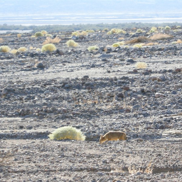 Death Valley - Un coyote