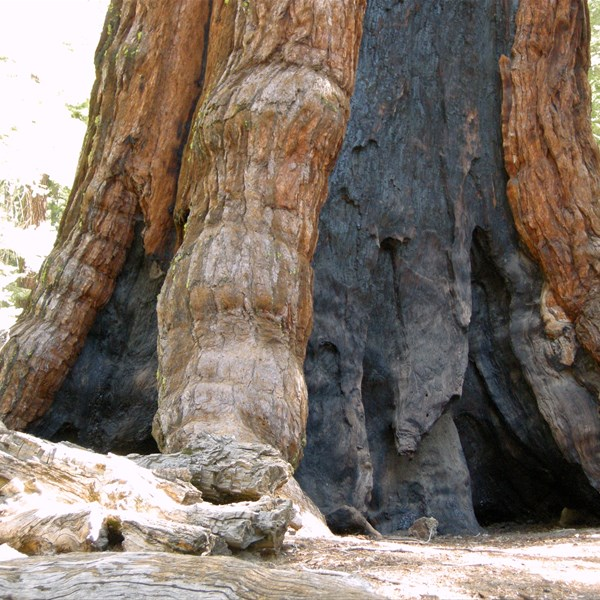 Yosemite National Park - Mariposa Groove - Le Sequoie